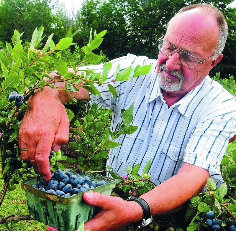 "Willi Hartung fills a container Tuesday at Steep Hill Farm. ""Every year we come. It's the best place to pick blueberries,"" he said."