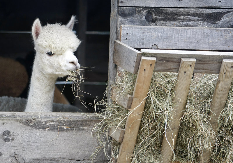 Aurora, a young adult female alpaca, munches a snack at Upper Farm Alpacas in Pownal.