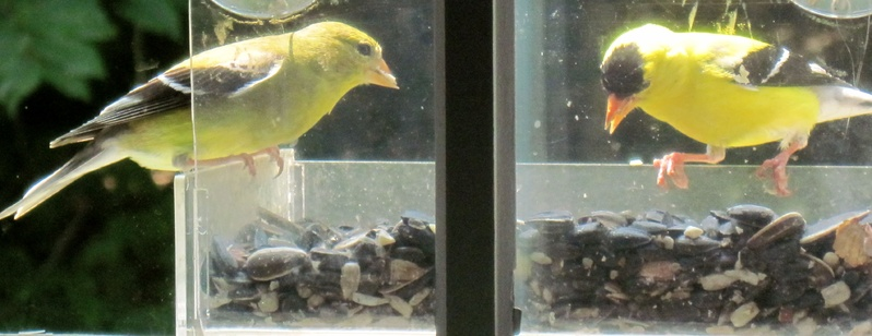 "A goldfinch pair eate breakfast at a window feeder in Falmouth. Cheryl Gillespie, who took the photo, says they have ""returned to us for several summers now."""