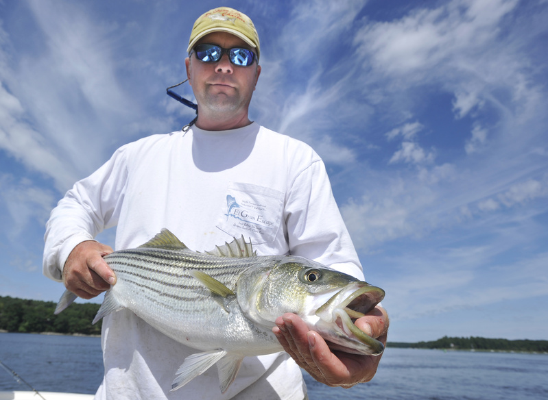 Fishing boat captain George Harris shows a 30-inch striped bass caught while fishing on the Kennebec River near Bath. Harris says that in the past couple of years it's rare to see a striper under 20 inches long, which is raising concerns about the future of the fishery.