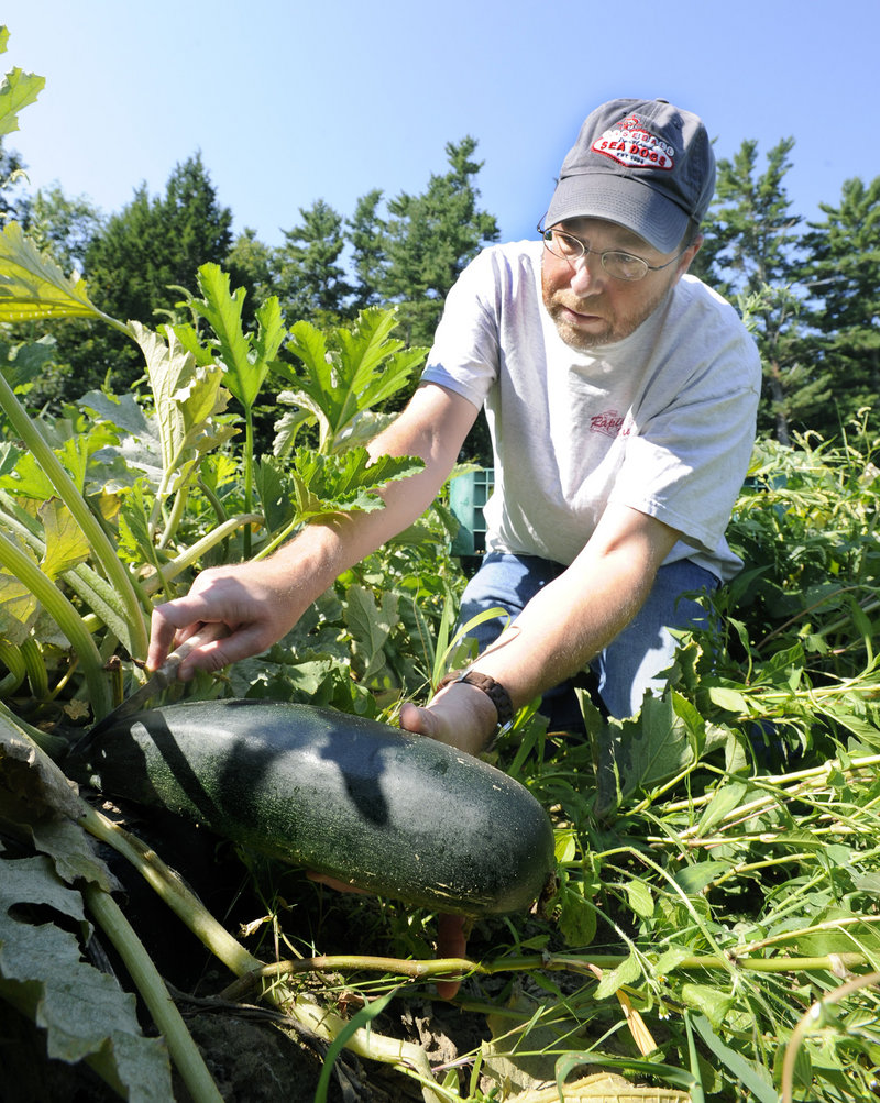 Ray Routhier picks a zucchini at Snell Family Farm in Buxton. It was fun to find large squashes, but the farm owner told him customers want smaller ones.