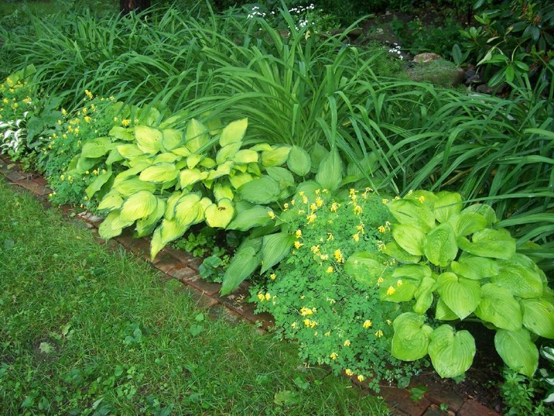 A line of different-colored hostas in front of a mass of day lilies.