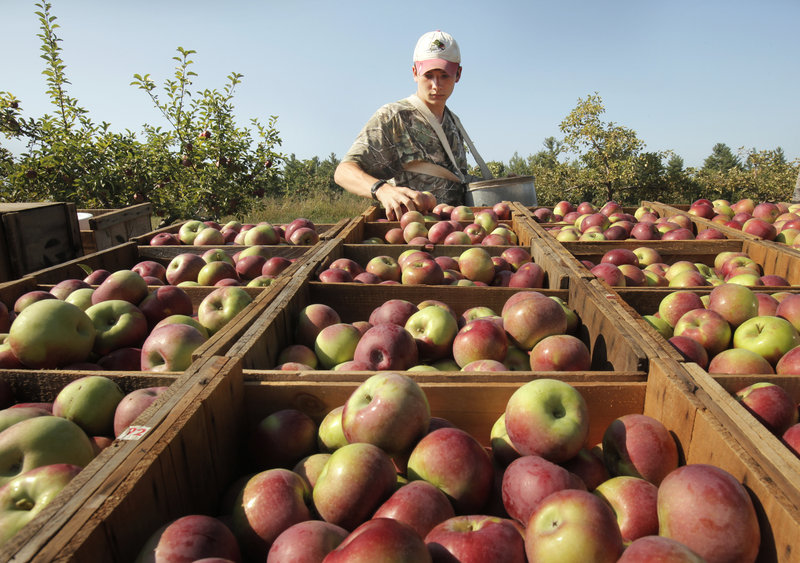 Seth Edwards arranges apples in boxes on the back of a truck at McDougal Orchards in Springvale. Apples are abundant at many Maine orchards this season.