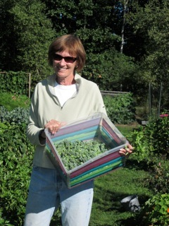 Julie Pew helps harvest the Yarmouth garden.