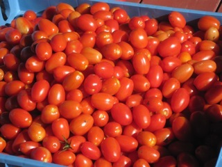 Tomatoes from Yarmouth Community Garden, pictured Sept. 11.