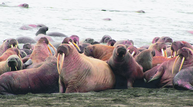 Walruses lie on the beach near Point Lay, Alaska, in this photo provided by the U.S. Geological Survey. Tens of thousands of walruses have come ashore in northwest Alaska because the sea ice they normally rest on has melted.