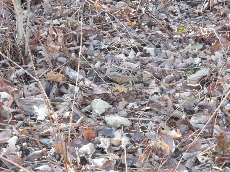 The American woodcock can be difficult for hunters to spot when it's holding tight to the ground. Its camouflage is its best defense.