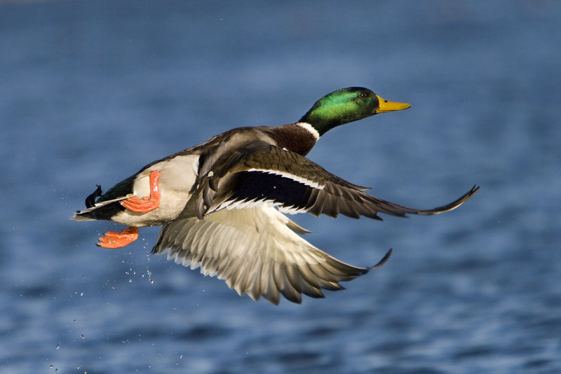 Puddle ducks, like this mallard, can be identified partly by how they feed – by tipping up – and by how they take flight.