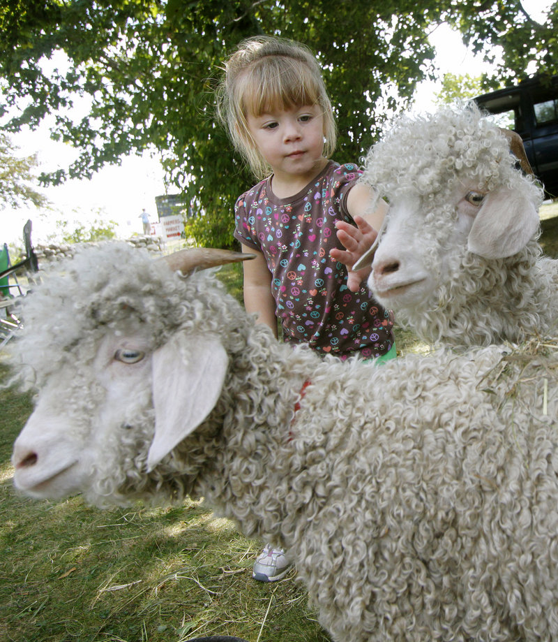 Olivia Lovejoy, 2, of Sanford pets Angora goats at the Punkinfiddle festival at the Wells Reserve at Laudholm on Saturday.