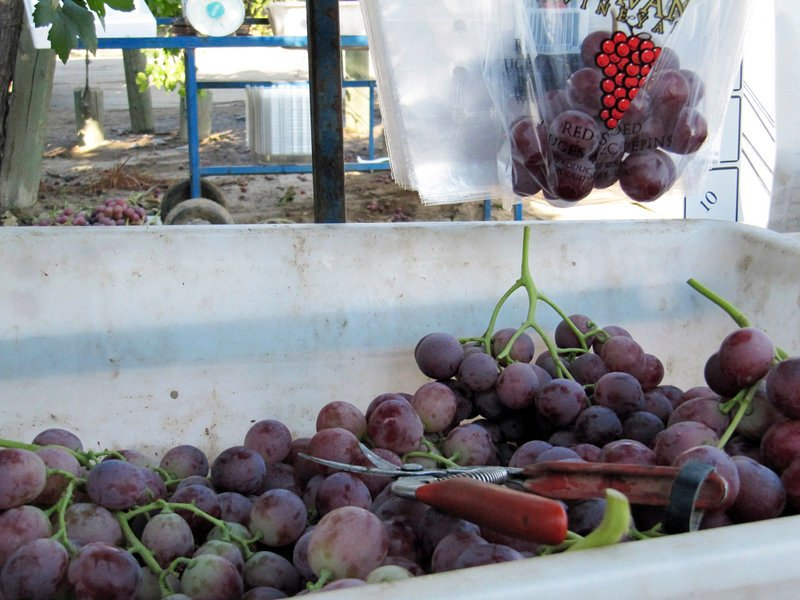 Table grapes sit in a bin after being harvested near Fowler, Calif., last week. More than half of farmworkers in the United States are illegal immigrants, the Labor Department says.