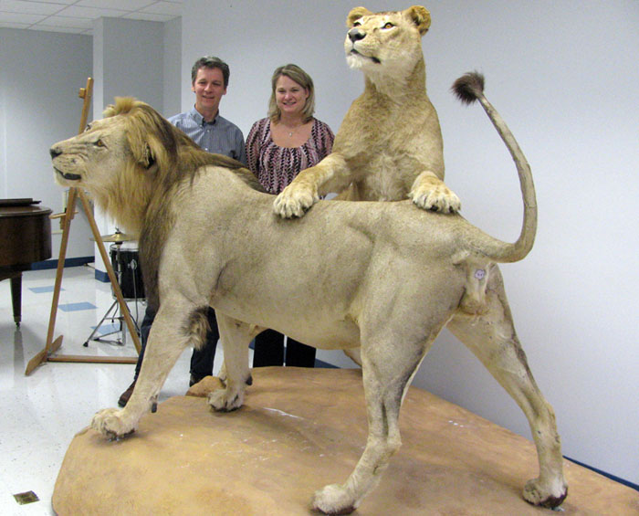 Belfast Area High School art teacher Chuck Hamm and administrative assistant Marcia Ames stand next to the two stuffed and mounted lions that will be displayed in the lobby of the high school.