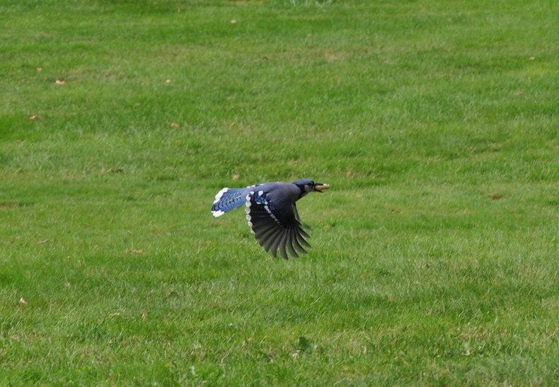 A blue jay flies away with a morsel in its mouth in a photo submitted by Alice Bouchard of Westbrook, who says she enjoys feeding the birds every day. Blue jays are energetic food hoarders in the fall.