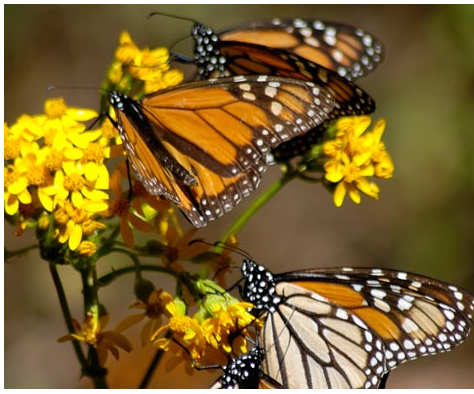 """The Incredible Journey of the Butterflies,"" a ""Nova"" film, will be shown at 7 p.m. Friday in a Sierra Club presentation at the First Parish Unitarian Universalist Church in Kennebunk. Admission is free and dessert will be served at 6:30 p.m. The documentary charts one of nature's most remarkable phenomena. Each year 100 million monarch butterflies fly from as far as 2,000 miles away to reach a tiny area in the mountains of Mexico. Scientists are still puzzling over how the butterflies achieve this tremendous feat of endurance. To capture a butterfly's point of view, camera operators used a helicopter, an ultralight and hot-air balloons along the butterflies' transcontinental route."