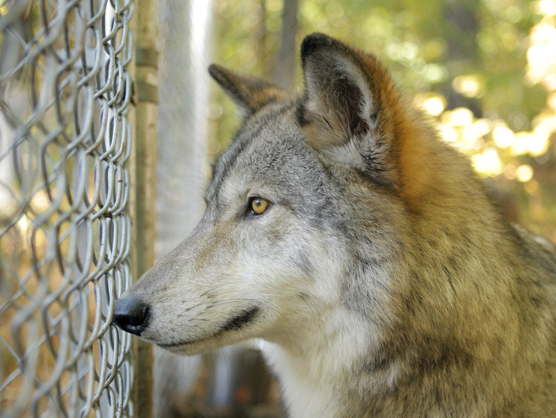 Lomasi looks out of her pen at the Runs With Wolves Sanctuary in Limington.