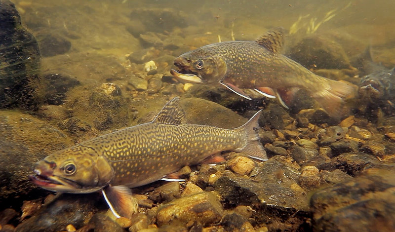 Brook trout pause on the bed of the Roach River, which flows into Moosehead Lake.