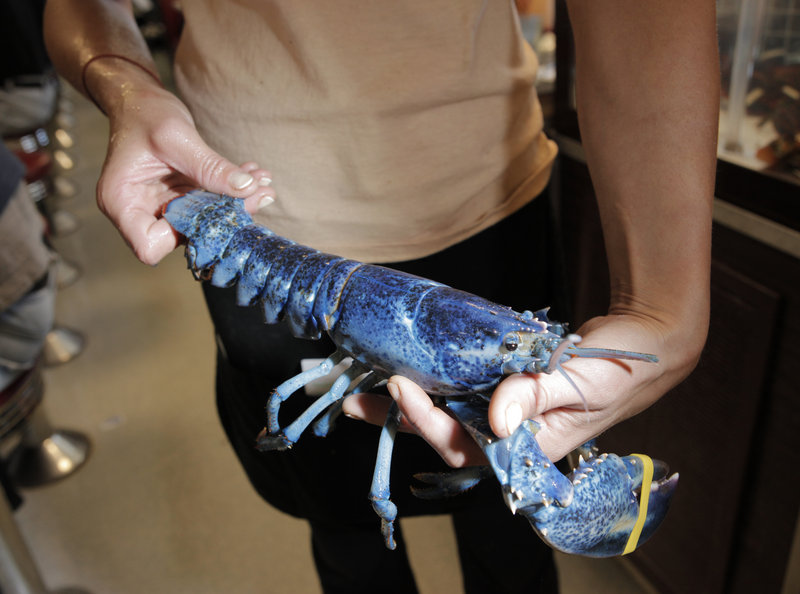 """Little Boy Blue,"" a rare blue lobster, is held by waitress Melissa Hamilton at Becky's Diner on Saturday. It's estimated that the chance of catching a blue lobster is about one in a million."