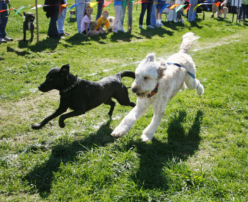 Delilah, a black Labrador retriever owned by Alison Schneller of Scarborough, races with Jack, a goldendoodle owned by Ann Charlton of Kennebunk, during the 50-Paw Dash for big dogs.