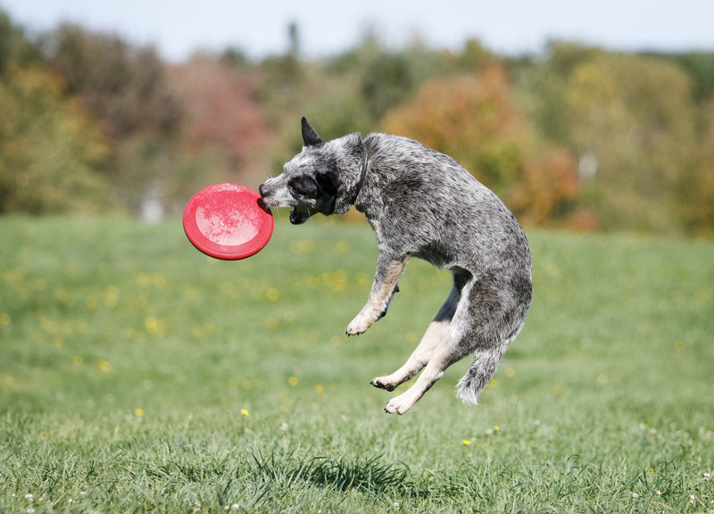 Preacher, a 3 1/2 year-old Australian cattle dog owned by Gina Rourke of Portland, catches some air while enjoying the Woofminster Dog Show & Cover Dog Challenge at Camp Ketcha in Scarborough Saturday.