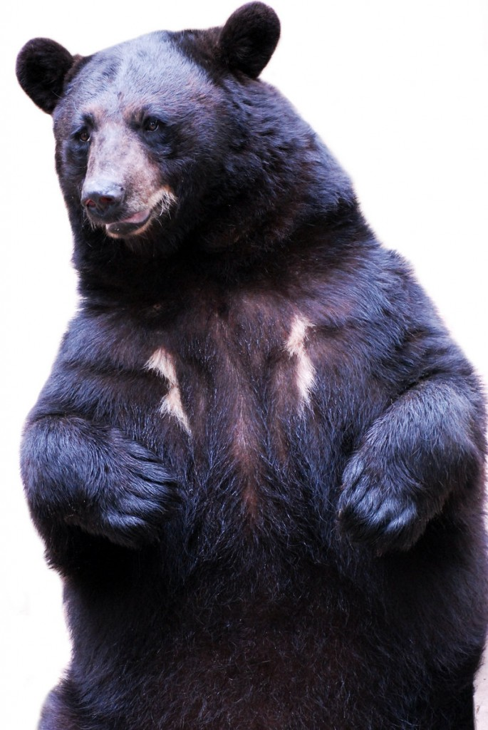 Black bears in Maine are increasing, and a state study soon will determine their numbers.