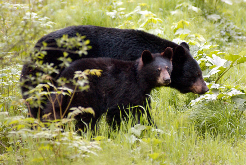 A black bear sow and cub roam near Juneau, Alaska. Officials estimate the state's black bear population at 100,000 and say it needs to be reduced. Maine is the only other state that allows the animals to be trapped.