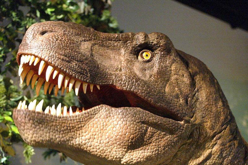 A Tyrannosaurus rex model is shown on display at the Oregon Museum of Science and Industry in Portland, Ore. A team of researchers reported Friday that huge tooth marks on fossils of T. rex bones indicate that the giant dinosaurs may have cannibalized one another.