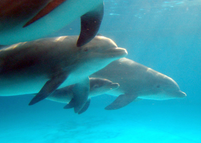 A newborn dolphin calf, center, swims alongside its mother, Jade, in this photo from March provided by the National Aquarium. Scientists studying a wild Australian bottlenose dolphin colony have found that who female dolphins hang out with can influence their reproductive fitness even more than genes, based on more than 20 years of observations.