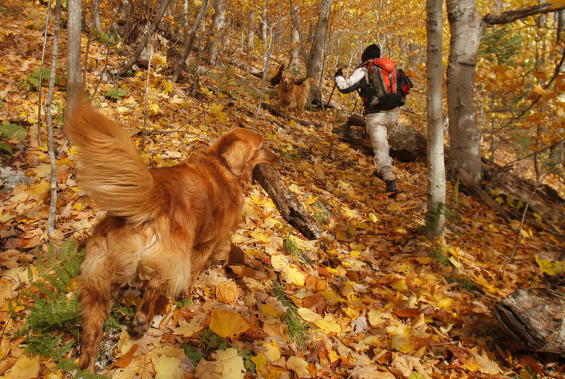 Almost camouflaged against a carpet of colorful leaves, Abby carries a large stick up the East Royce Trail in Evans Notch while hiking last month with her owner Judy Higgins of Saco. For a golden like Abby, retrieving is part of the fun.