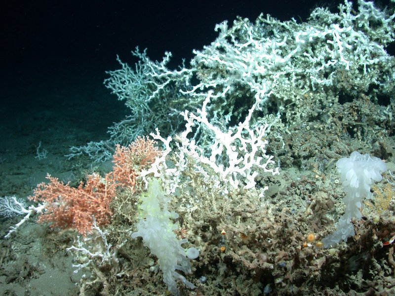This September photo provided by Discover Team 2010 shows deep sea corals on the bottom of the northern Gulf of Mexico, not far from where BP's underwater oil well blew out on April 20.