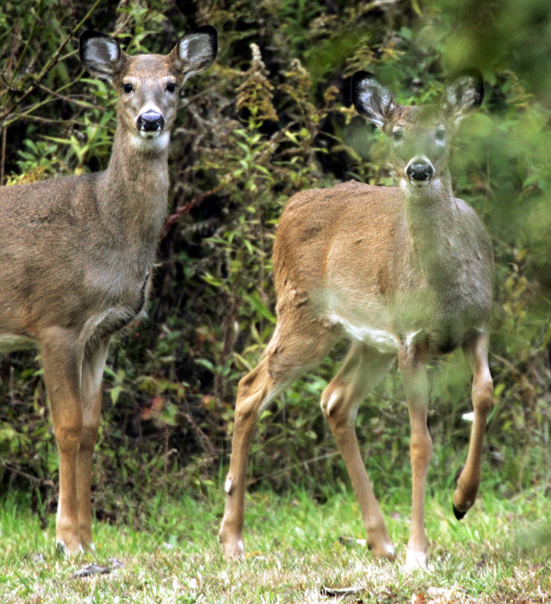Wary whitetails will move into the wind as a basic defense mechanism. The deer's ultra-sensitive sense of smell allows them to sense what might be approaching.