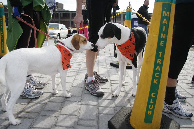 Four-legged friends George, left, and Enzo, right, owned by Ann Cullen of South Portland and Nancy Waye of Raymond, respectively, socialize after crossing the finish line in the Bayside Trail 5K Race on Sunday.
