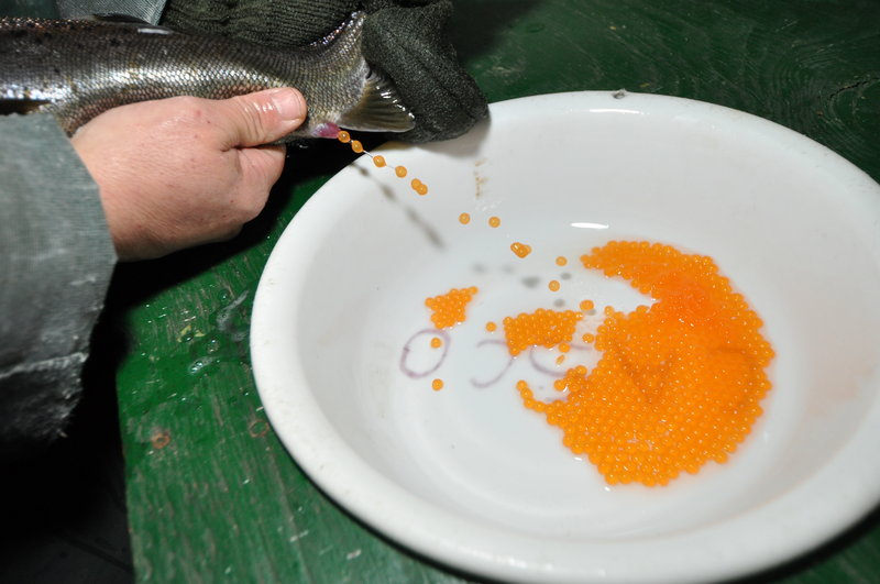 "Eggs are ""stripped"" from a female salmon into a bowl, where they will be fertilized with the milt of a male salmon."