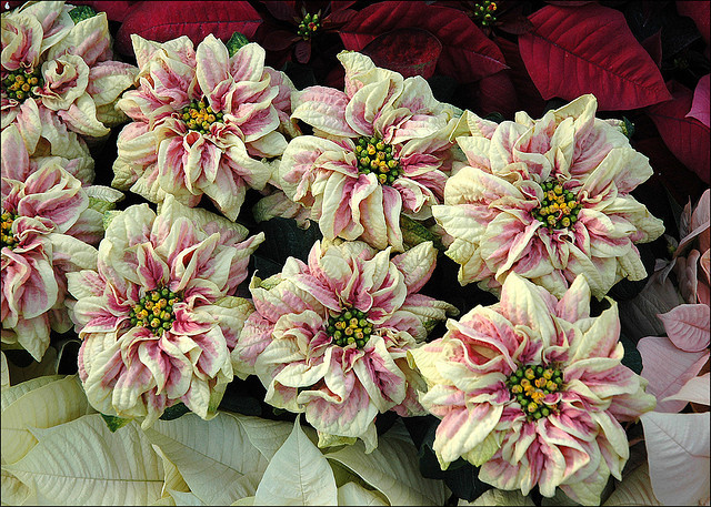 Winter Rose poinsettia boasts a rose cluster rather than large bracts and leaves.