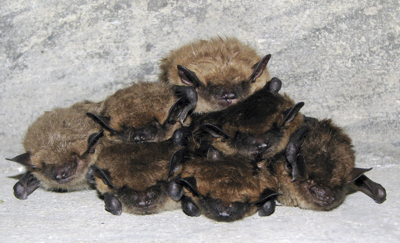 Bats are seen in a bunker in New Hampshire in a photo provided by the U.S. Fish and Wildlife Service.