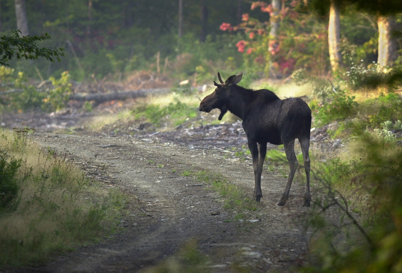 A young bull moose crosses a logging road in northern Maine. Gov. Paul LePage has proposed zoning 10 million acres of northern Maine for development. north woods