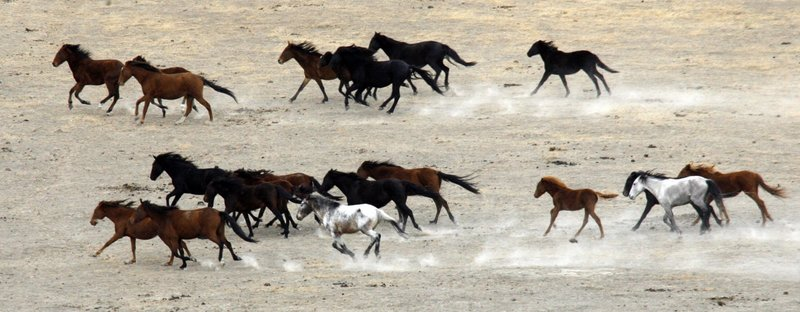 """Horses gallop on an open range in the Yakama Indian Nation near Toppenish, Wash., in a photo from October. A growing herd of about 12,000 horses now lives on ranges in the U.S., and management experts say it is far too many for the land to support. Animal-rights activists, however, oppose any slaughter of horses, saying """"horses are not food animals in this country."""""""