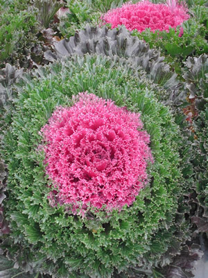 "All-America Selections named ornamental Kale ""Glamour Red"" one of two top cool-season bedding plants."