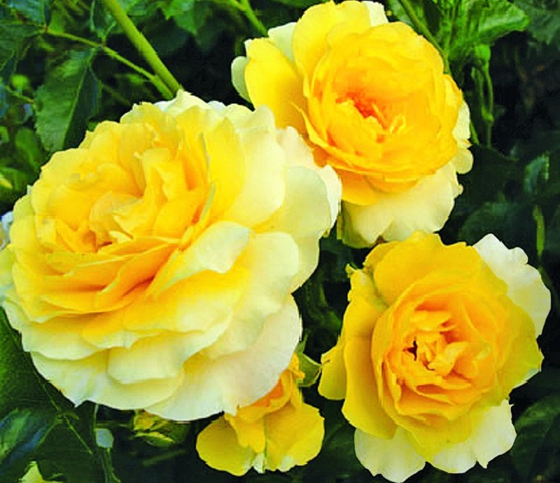 "All-America Rose Selections ""Walkingon Sunshine"""