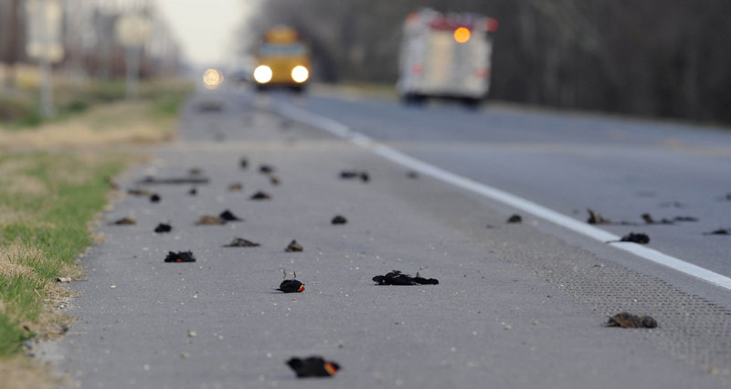 Dead birds lay alongside a highway in Pointe Coupee Parish, La., three days after more than 3,000 blackbirds fell from the sky on New Year's Day. Scientists say such mass deaths for animals are usually explained by natural events.