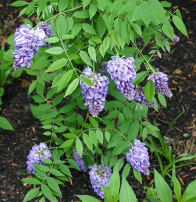 "Wisteria ""Amethyst Falls"" is a suitable replacement for the invasive Oriental bittersweet."