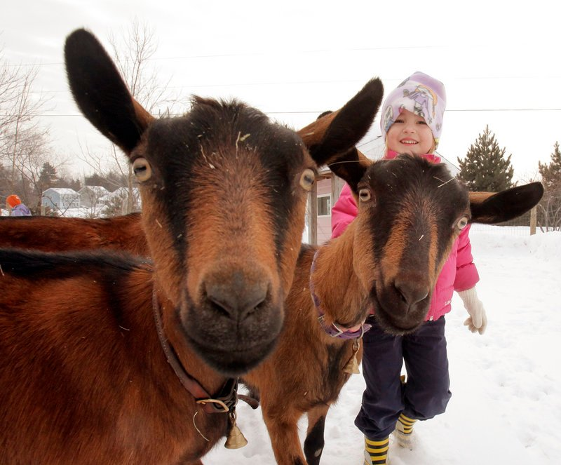 Rozalyn Proulx, 4, and her family have four goats at their Gorham home, including Sophie, left, and Ro-Ro. Rozalyn's mother, Ginger Proulx, makes cheese and yogurt from the animals' milk.