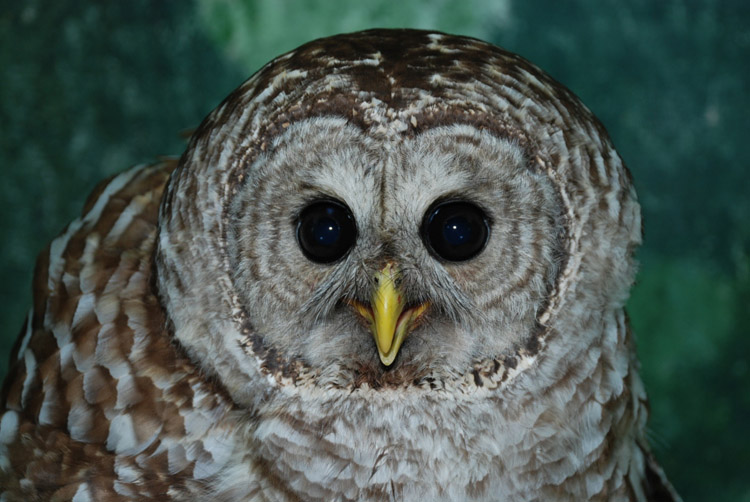 This juvenile barred owl was near starvation when it was taken Avian Haven, a wildlife rehabilitation center in Freedom.