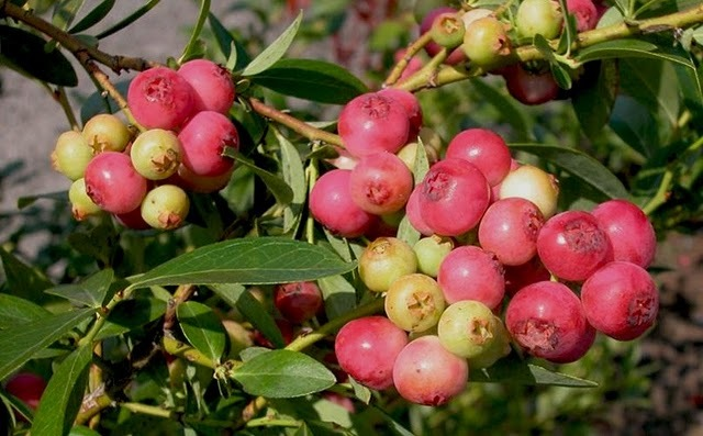 """""""Pink Lemonade"""" blueberry is """"creating quite a stir among backyard gardeners,"""" according to the White Flower Farm catalog."""