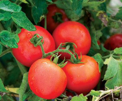 Johnny's Selected Seeds in Winslow says the Defiant PhR (F1) tomato has a high resistance to late blight and intermediate resistance to early blight.