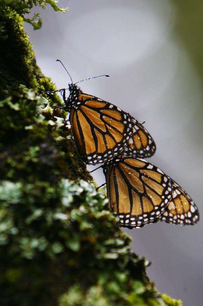 This winter, there are 9.9 acres of colonies of monarch butterflies in Mexico, more than double the 4.7 acres last year, the lowest level since comparable record-keeping began in 1993.