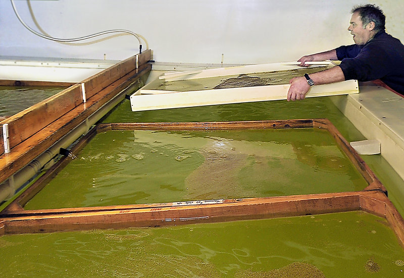 John Mitchell, an aquaculture helper at Mook Sea Farm, returns a rinsed screen filled with young oysters to a growing tank. The farm turns out 50 million MSX-resistant oyster seeds annually for parts of the country hard hit by the disease.