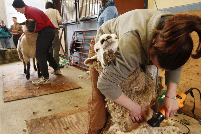 "Amanda St. Peter of Gray tries her hand at shearing a sheep at a University of Maine Cooperative Extension course at North Star Sheep Farm in Windham last weekend. ""Everyone wants to get involved in sheep and fleece. It's great,"" said Lisa Webster, who hosted the class."