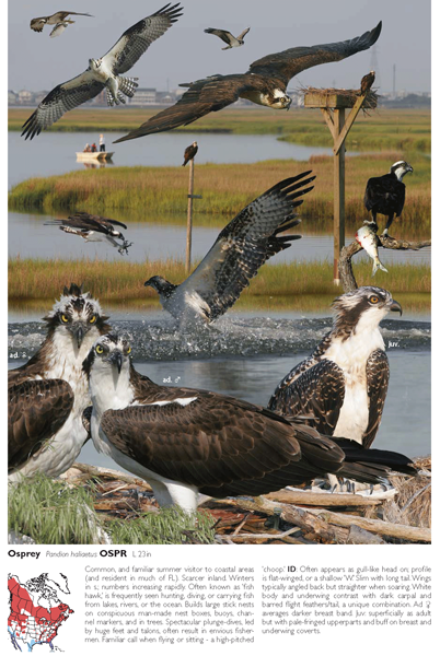 An osprey plate in The Crossley ID Guide: Eastern Birds gives varying views of the bird to help in identifying it.