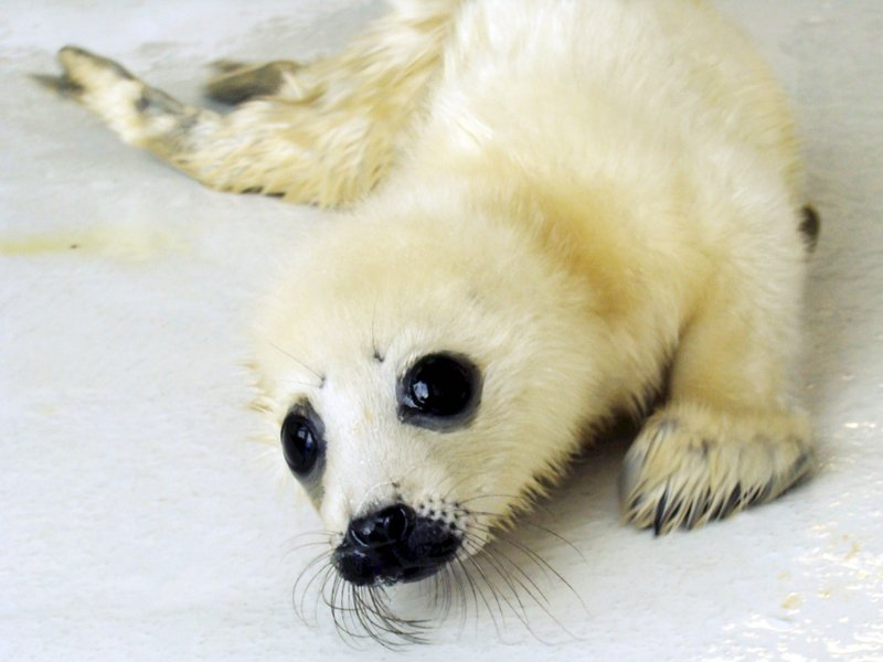 This harp seal pup, abandoned by its mom after its birth in Spruce Head, is being cared for at the UNE Marine Animal Rehabilitation Center.