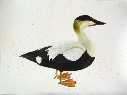 "Scott Kelley's ""Common Eider."""