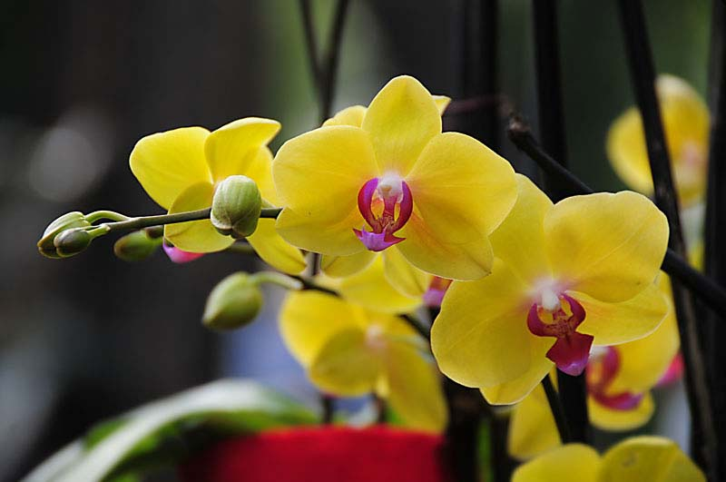 The orchid's popularity as a houseplant has surged in recent years.
